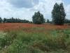 Mohnwiese auf dem Weg nach Elbląg